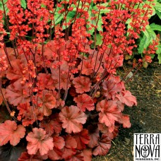 "Heuchera ""Cherry Cola"""