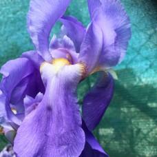 Iris bressic