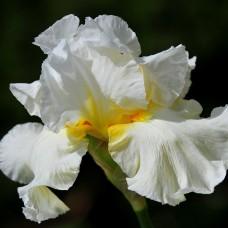 Iris beli