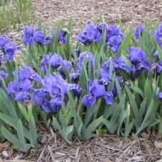 Iris pumila blue