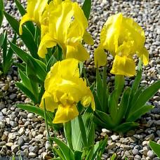 Iris pumila 'Banbury Ruffles'