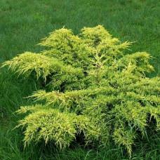 """Juniperus """"Gold Star"""""""