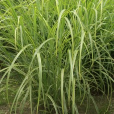 MISCANTHUS sinensis  'Luc Andr Lepage'