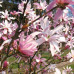 """Magnolia """"Leonard Messel"""""""