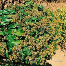 "Hedera colchica "" Fall Favourite"""