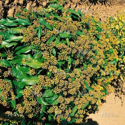 "Hedera colchica "" Fall Favourite"""