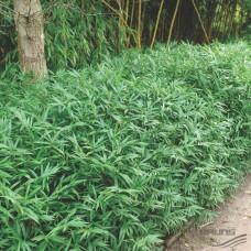 Pleioblastus mini bambus