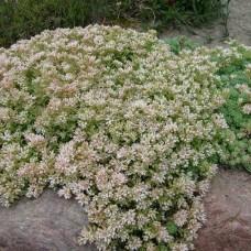 Sedum hispanicum