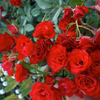 Scarlet Mejandekor