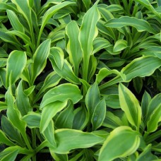 "Hosta ""Tattle Tails'"