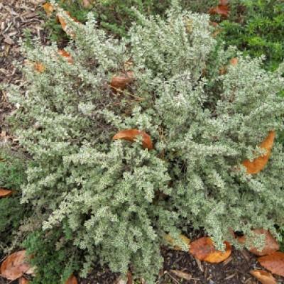 Thymus silver variegatum