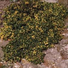 Tthymus doone valley