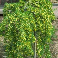 Caragana arborescens pendula