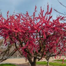 Prunus persica red