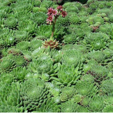 "Sempervivum ""Mountains"""