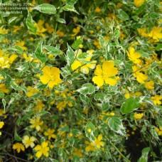 Kerria japonica variegata