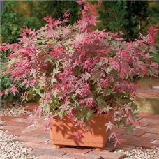 "Acer palmatum ""Beni Maiko"""