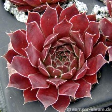 Sempervivum heuffelii 'Atahualpa'