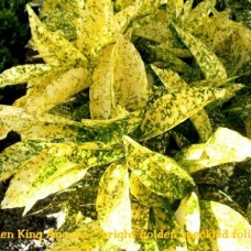 Aucuba japonica Golden King