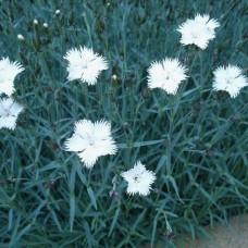 Dianthus gratianopolitanus white