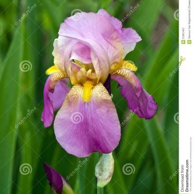 Iris-pink yelow