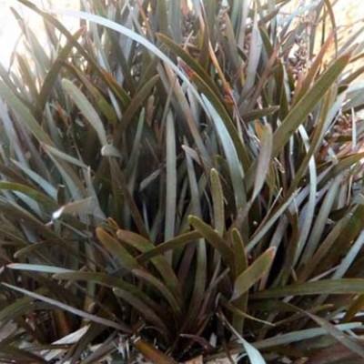 Carex berggenii