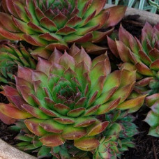 "Sempervivum "" Henks"""