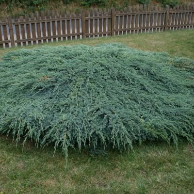Juniperus Blu Carpet