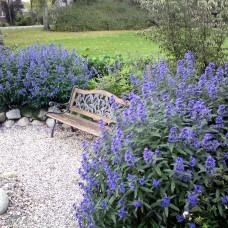 """Caryopteris clandonensis """" Heavenly blue """""""
