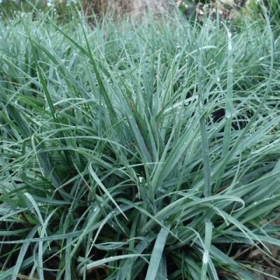 "Carex flaca ""Blue Zinger"""