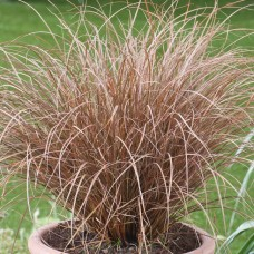 Carex petriei 'Milk Chocolate