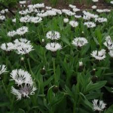 "Centaurea montana ""Alba"""
