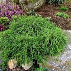"""Chamaecyparis pisifera """" Filifera nana"""""""