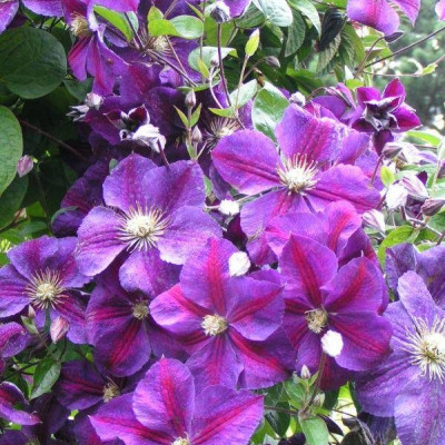 """Clematis """"Star of India"""""""