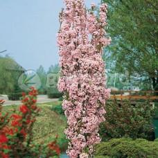 """Prunus """" Serrulata amanogawa"""""""