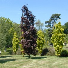 Populus deltoides 'Purple Tower'