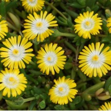 "Delosperma "" Jewel of Desert Peridot"""
