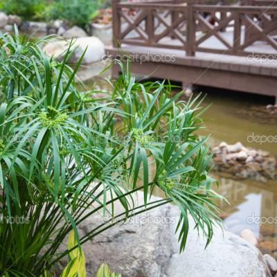 Cyperus diffusus