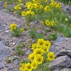 Hymenoxis grandiflora