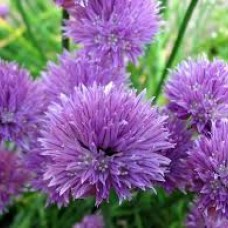 Allium niski