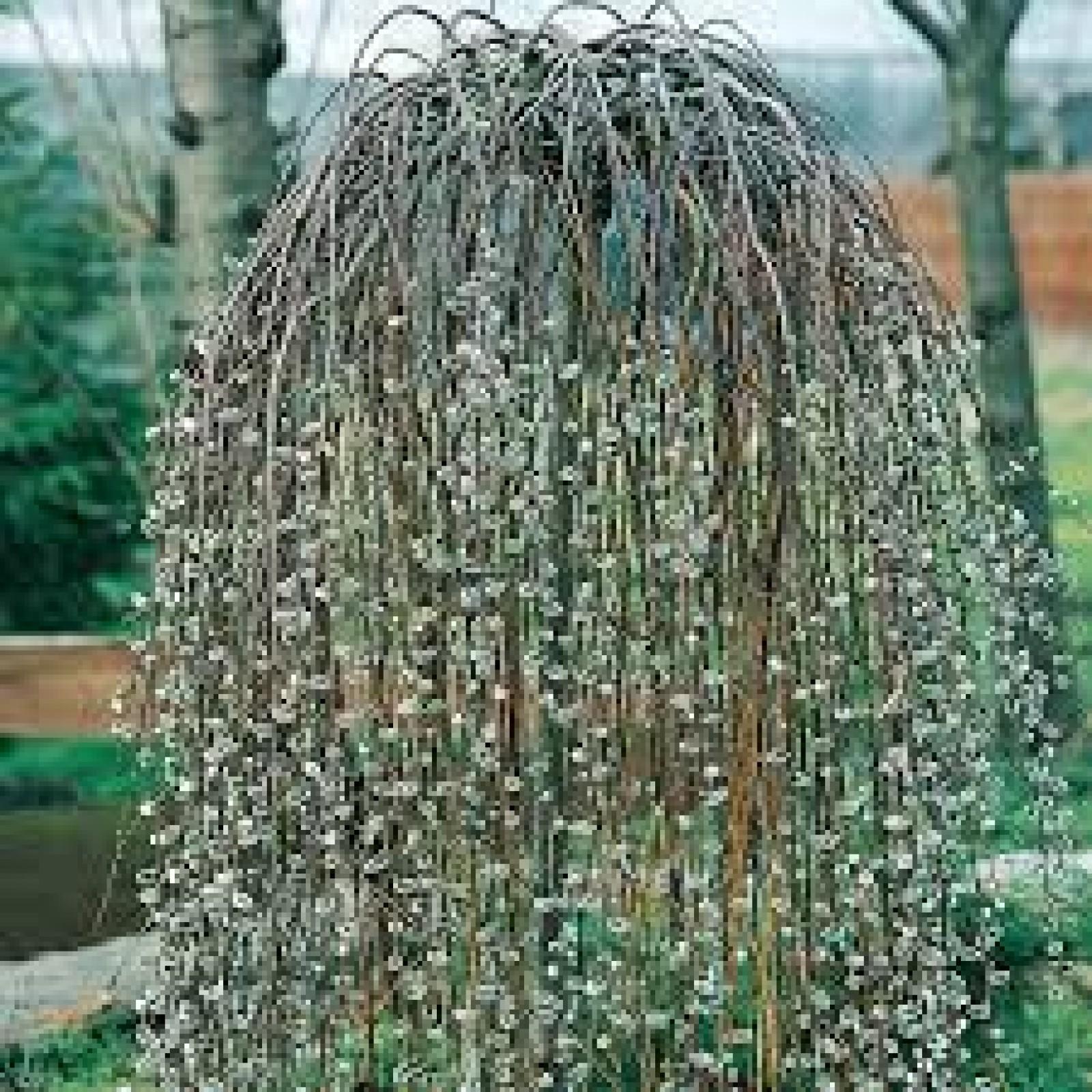 Salix caprea kilmarnock - Saule crevette sur tige en pot ...