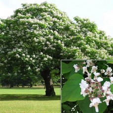 CATALPA BIGNONIODIES