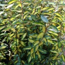 Eleagnus panaché  'Limelight'