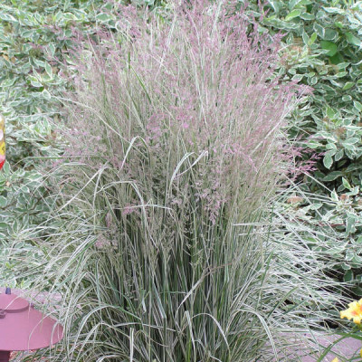 "Calamagrostis acutiflora "" Overdam"""