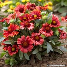 Gaillardia grandiflora red