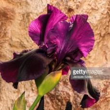 Iris crn sa bordo