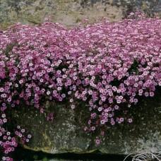 "Gypsophila repens ""Rosea"""