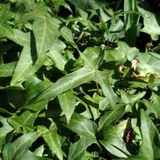 "Hedera Helix "" Sagittifolia"""