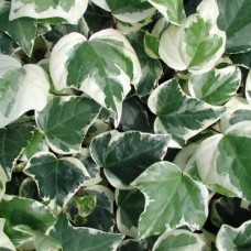 hedera canariensis variegata
