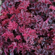 "Heuchera  ""Melting Fire"""